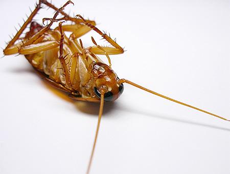 الصقيع يقتل الصراصير وبيضها