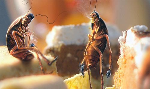 الصراصير في المنزل - علامة على الظروف غير الصحية