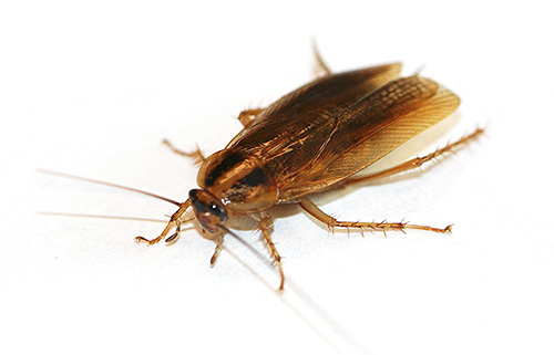 Boric acid is very toxic to cockroaches