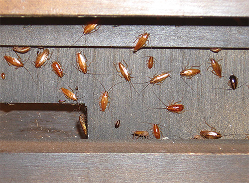 Boric acid should be used in places where insects accumulate.
