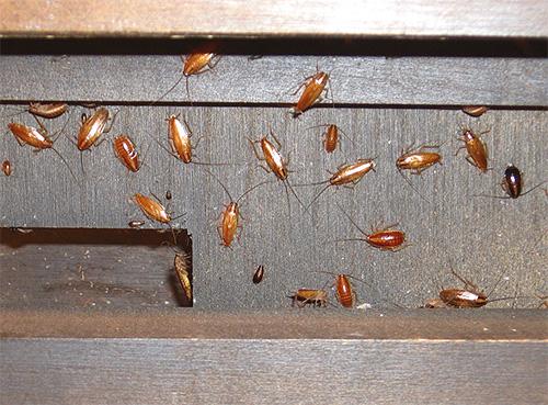 ควรใช้กรดบอริกในที่ที่แมลงสะสมอยู่