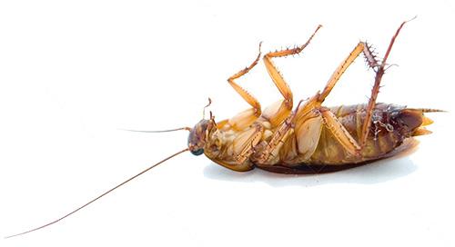 แมลงสาบตายที่อุณหภูมิต่ำ