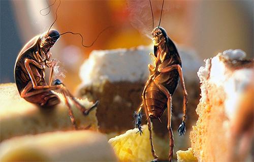 เศษอาหารที่ไม่สะอาดช่วยในการเพาะพันธุ์แมลงสาบ