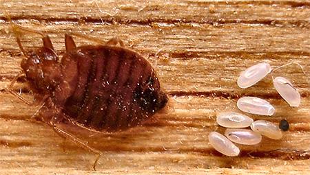 La un capăt al patului oului bug-ului este un capac caracteristic.