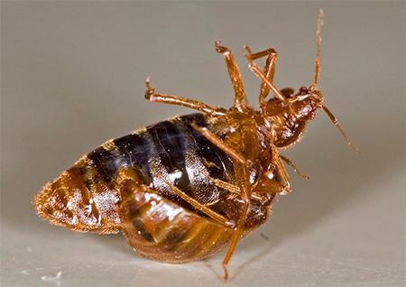 Homebug-urile se reproduc prin inseminare traumatică