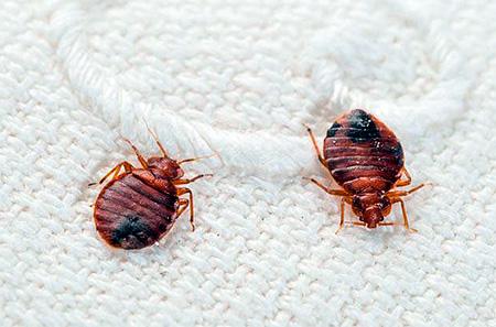 Un bug domestic e foame are un corp plat.
