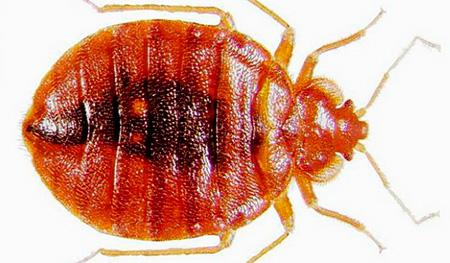 Bedbug (pat)