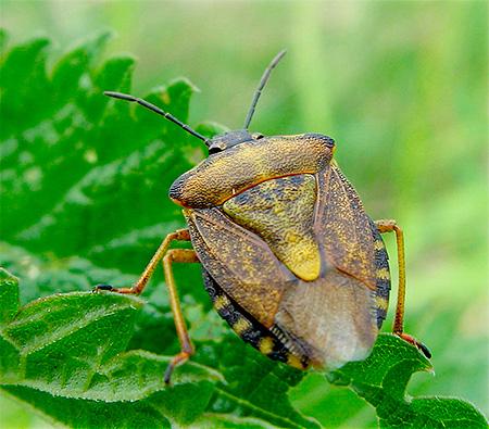 숲 벌레의 몸체가 오각형과 닮았다.