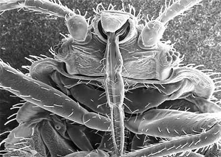 Proboscis bug