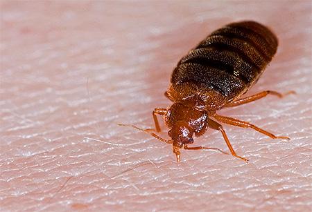 Bedbug: adult