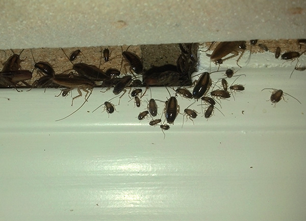 Despite the fact that insecticidal gels kill cockroaches slowly, nevertheless, they are one of the most effective means of combating these pests.