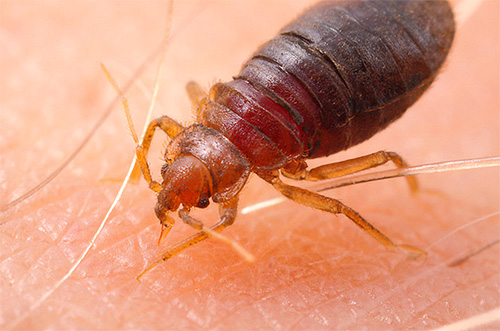 Bedbug at the time of the bite