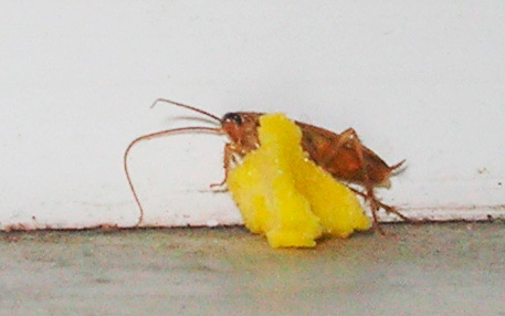 แมลงสาบกินเหยื่อพิษด้วยกรดบอริก