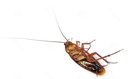 คุณสามารถกำจัดแมลงสาบโดยการแช่แข็งพาร์ทเมนท์