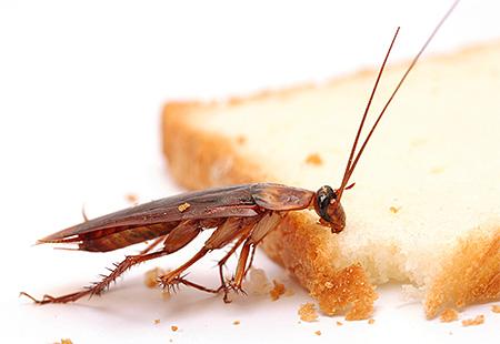 สิ่งสำคัญคือต้อง จำกัด การเข้าถึงแมลงสาบต่ออาหารและน้ำ