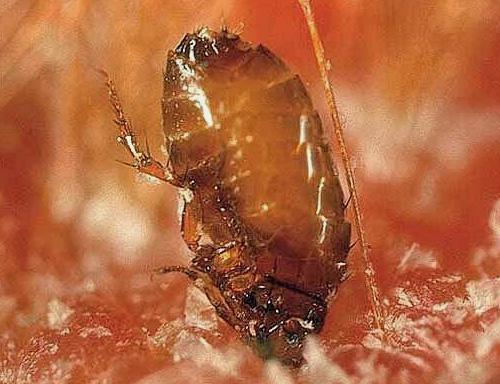 لدغ البراغيث يمكن أن يعض الجلد.