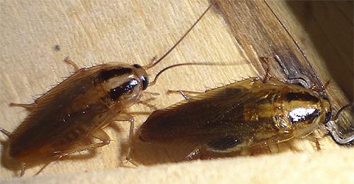 من الضروري تطبيق الجل في أماكن تجمع الحشرات المفترض