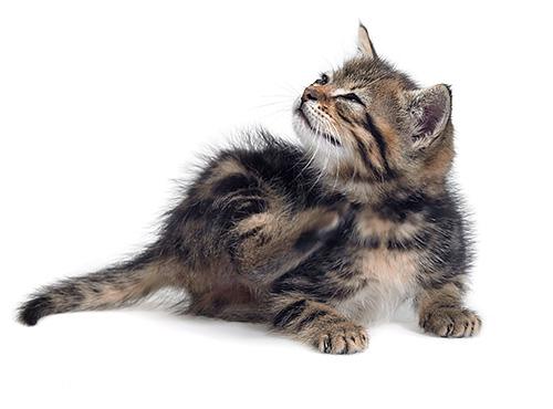 إذا كنت تحلم بالبراغيث على قطة أو قط
