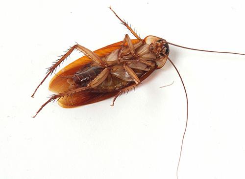 النظر في خيارات للتخلص من الصراصير في المنزل