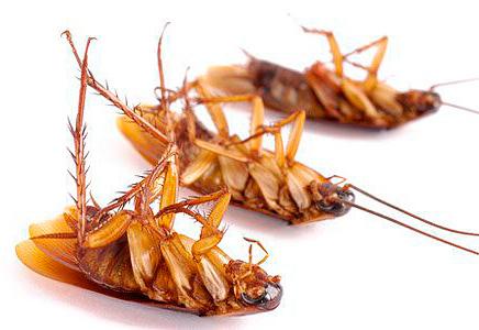 الصقيع بفعالية يدمر الصراصير في الشقة