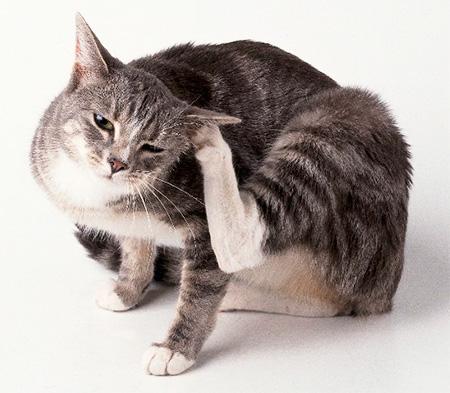 نستنتج البراغيث في القط في ظروف البيت