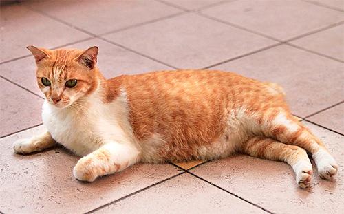 مكافحة البراغيث في القطط الحامل يجب أن تكون حذرة بشكل خاص.