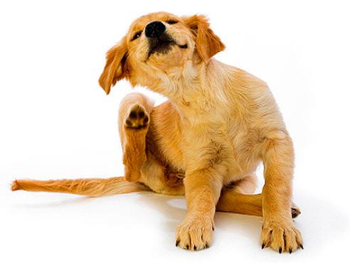 نستمد البراغيث من الكلاب