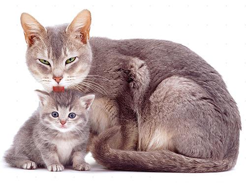 تسمح لك قطرات البراغيث بالتخلص بسرعة من قطط الطفيليات والقطط الصغيرة