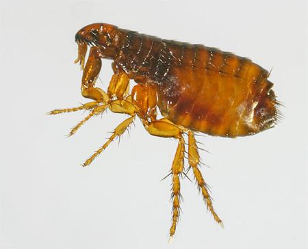 المبيدات الحشرية المستخدمة في المستحضرات الحديثة هي سامة جدا للبراغيث.