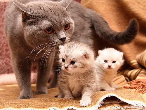 يحظر علاج القطط مع البراغيث قبل الفطام من الأم.