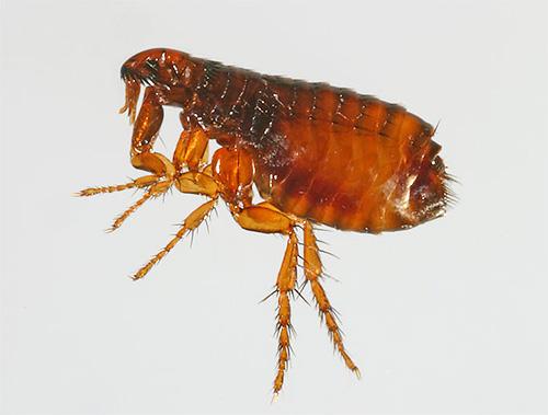 الياقات البراغيث تحتوي على مبيدات حشرية وعوامل ذعرية.