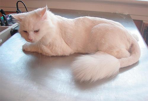 إذا تم التغلب على القطة من البراغيث