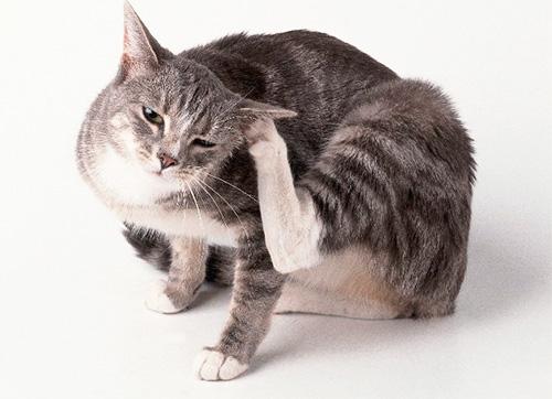 إذا كان القط في كثير من الأحيان حكة ، يمكن أن يكون علامة على برغوث.