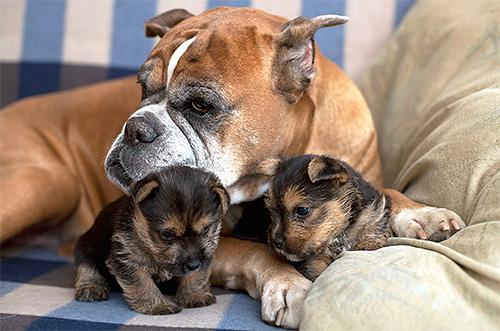 مع كلب البرغوث ، تنتقل الطفيليات بسهولة إلى كلاب