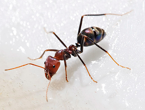 في النمل ، يسبب حمض البوريك اضطرابات في الجهاز العصبي