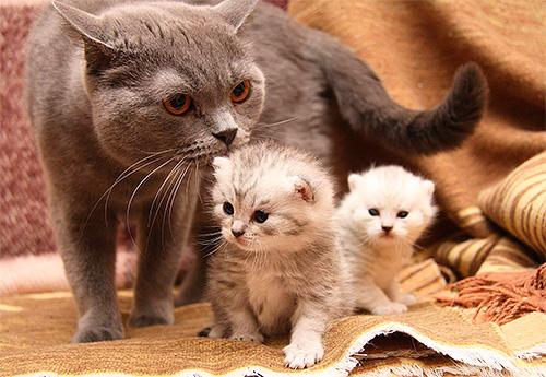 ضع في اعتبارك أن القط يلعق القطط ويمكن أن تلعق المبيدات الحشرية من البراغيث