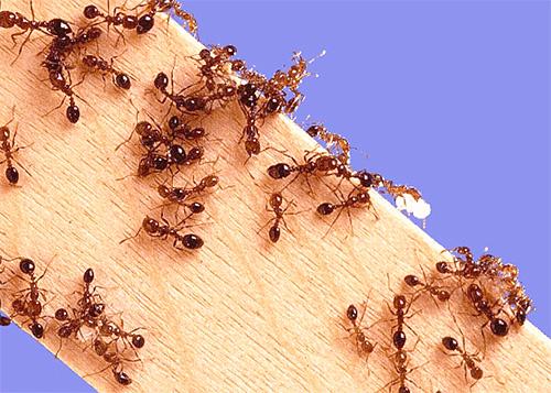 اختيار السم من النمل في الشقة ...
