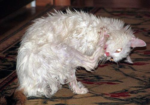 لا يمكنك إعطاء القطة لعق الشامبو