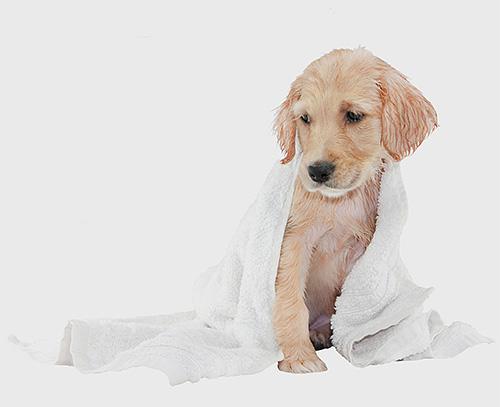 أي شامبو برغوث في الكلاب له مزاياه وعيوبه.