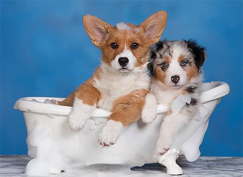 للحصول على كلاب تحتاج إلى اختيار الشامبو الأكثر رقة