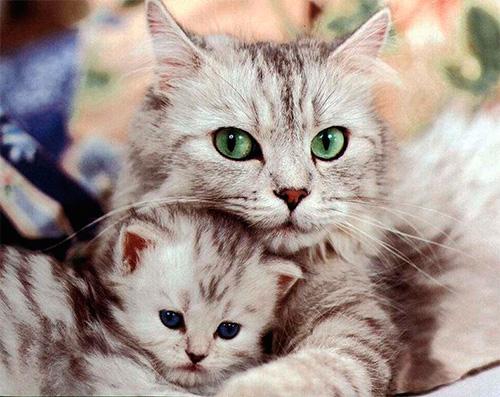 نختار العلاج الأكثر فعالية للبراغيث للقطط والقطط