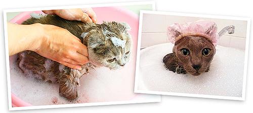 الشامبو برغوث ليس فقط تدمير الطفيليات ، ولكن أيضا رعاية شعر الحيوانات الأليفة