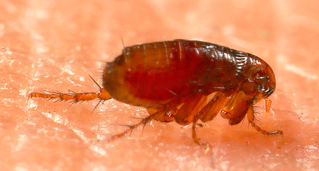 Folk insect repellents usually scare off fleas, but do not kill them.
