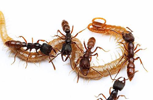 มดตัว dracula จับแมลงต่าง ๆ และฟีดตัวอ่อนของพวกมัน