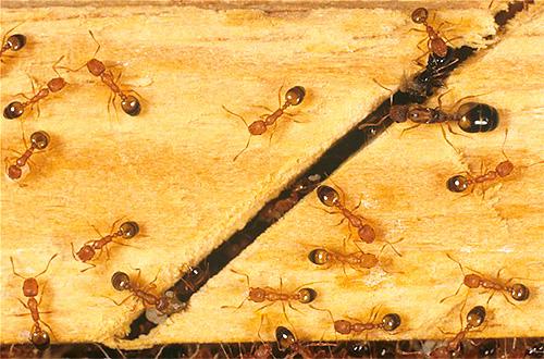 يمكن أن يوجد النمل في أي مكان ، سواء في الشقة أو خارجها