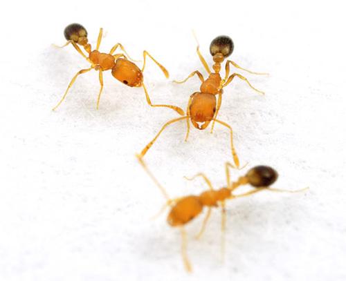 العاملون من النمل الفرعون