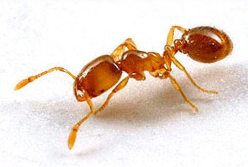النمل فرعون هي الحشرات المحبة للحرارة