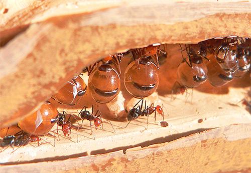يمتلئ بطن عسل النمل بالسائل الحلو.