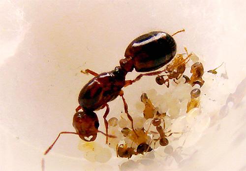 يمكن أن النملة ملكة تعيش لعدة سنوات