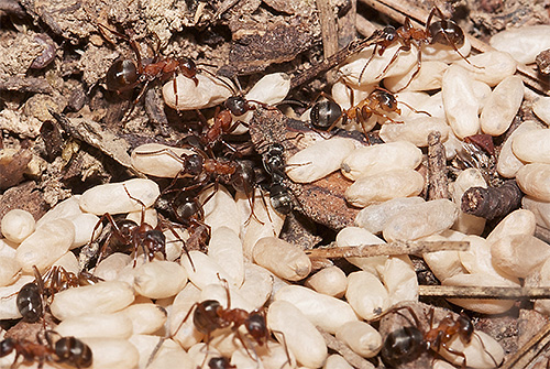 غالبًا ما يهاجم النمل الأمازون النمل الآخر ويسرق يرقاتها.